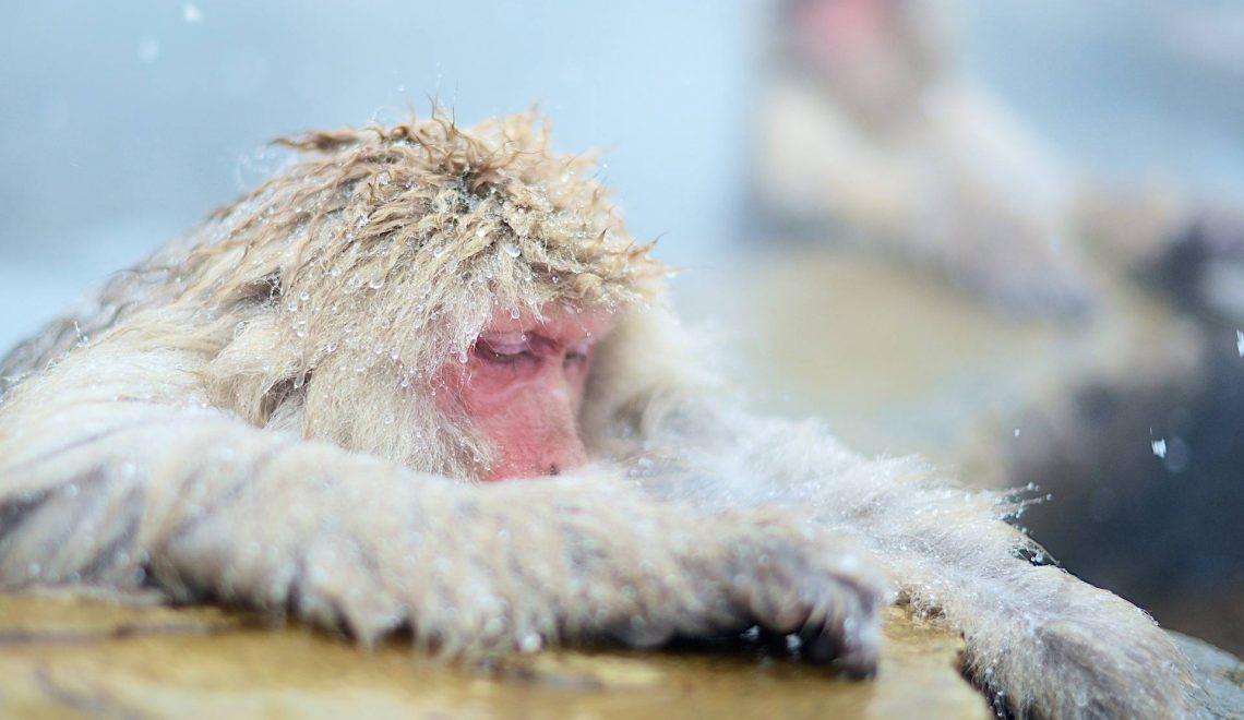 Makaki japońskie kąpią się w gorących źródłach | Jigokudani Snow Monkey Park