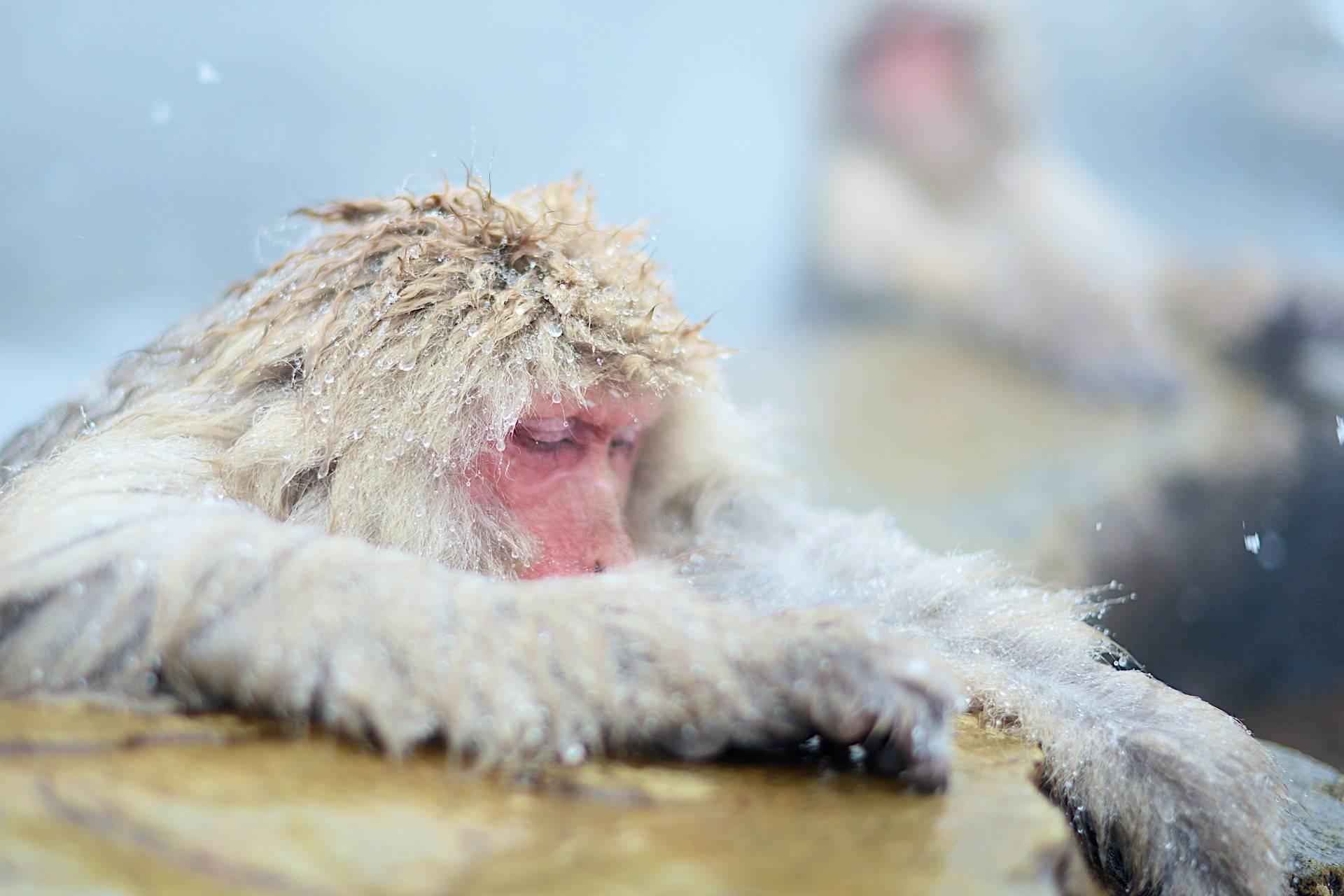 Makaki japońskie kąpią się w gorących źródłach | Jigokudani Snow Monkey Park i Nagano