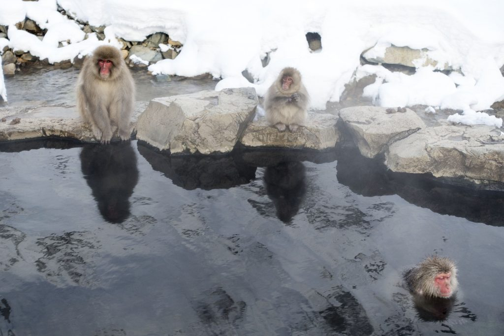 Nagano śnieżne małpy snow monkey park makaki japońskie