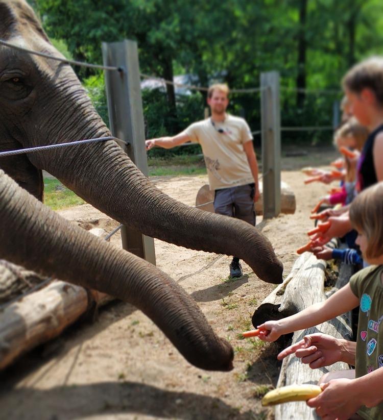 karmienie słoni w Cottbus zoo