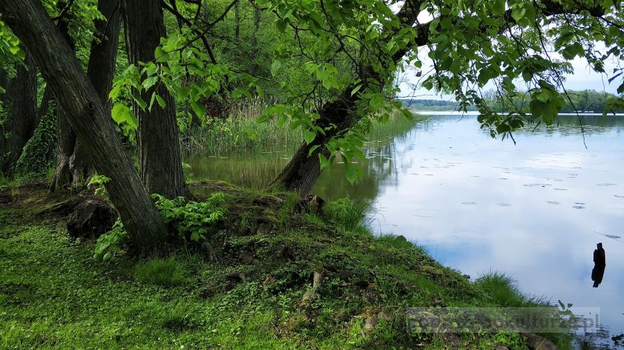 Wolsztyn - dziki brzeg jeziora Wolsztyńskiego