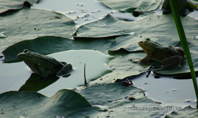 biebrzańskie żaby