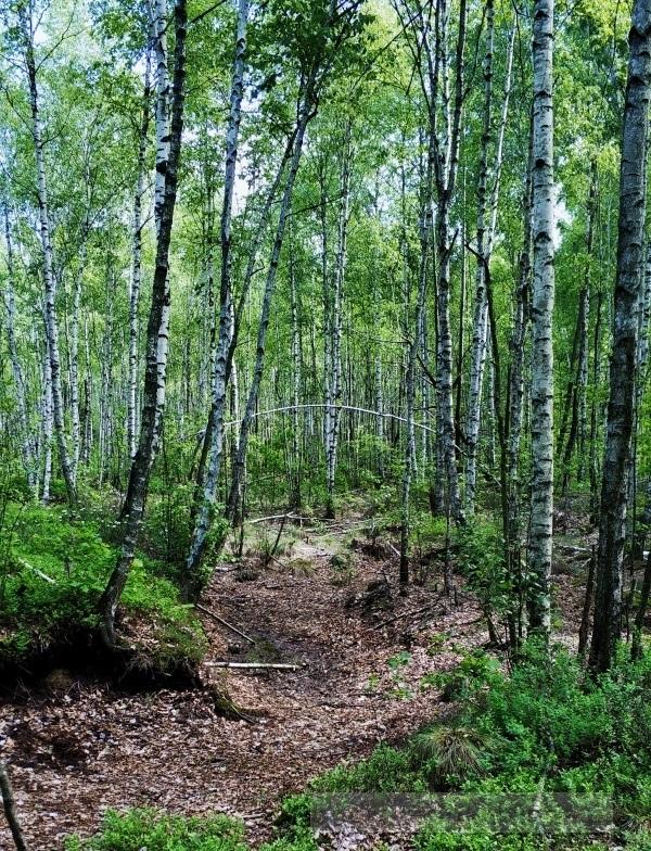 Las w Biebrzańskim Parku Narodowym