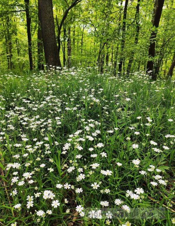Las Wolski na wiosnę. Zawilce