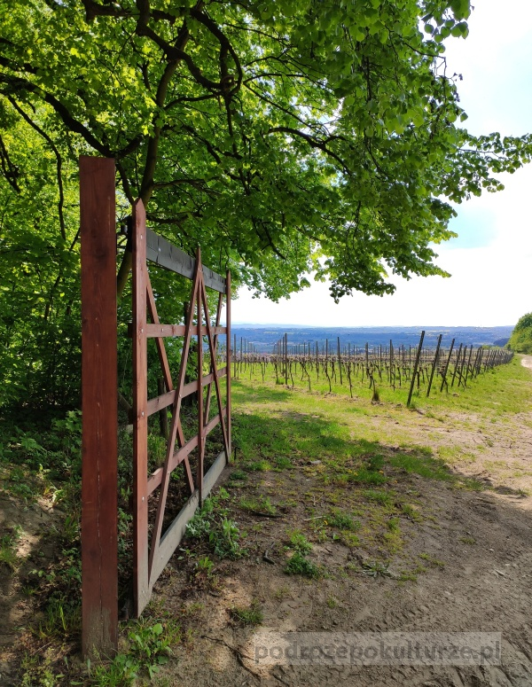 Winnica Srebrna Góra w Lesie Wolskim - jedyna winnica w Krakowie