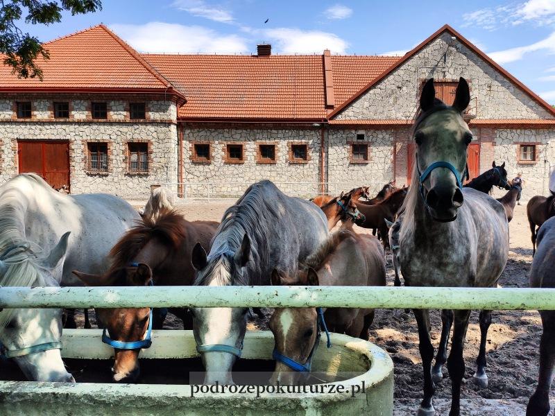 Stadnina Koni w Michałowie. Konie arabskie