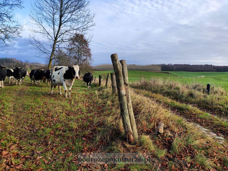 Krowy na pastwisku nad Jeziorakiem